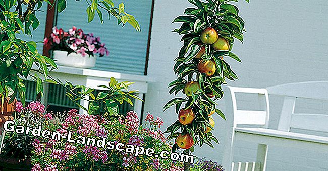Balcony fruit: The best types and varieties