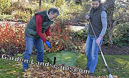 Remove autumn leaves from the lawn