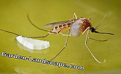 Mosquito with eggs