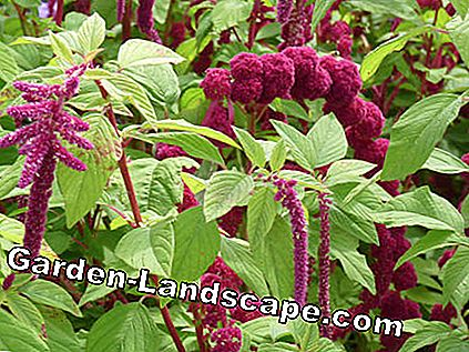 Grain Amaranth