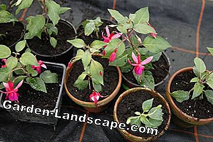 Multiplicera fuchsier