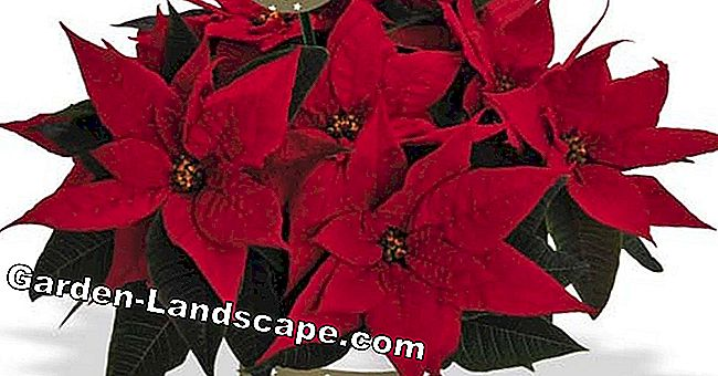 Poinsettias for a good cause