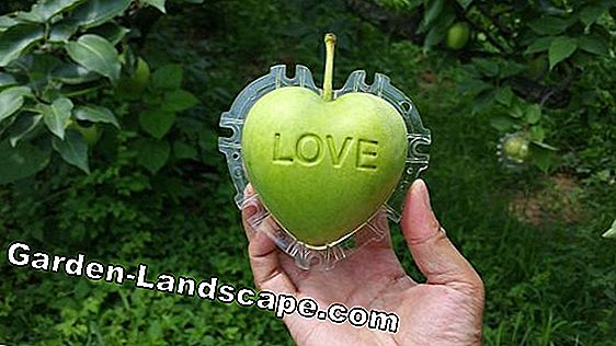 Apple avec amour lettrage