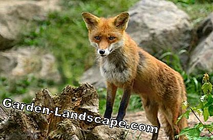 Red Fox en el bosque