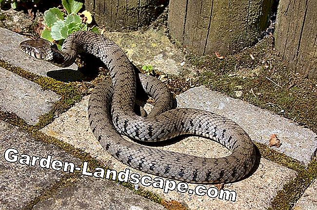 Snake on the terrace - fright for garden owners: fright