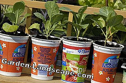 Young plants in yogurt cups