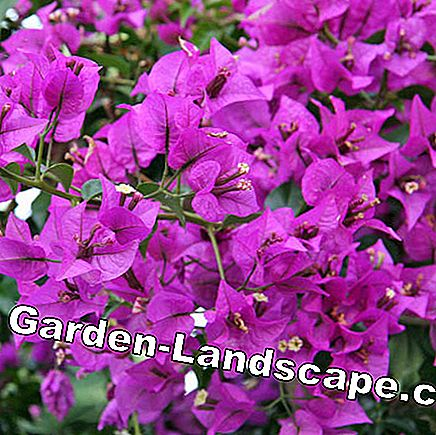 The Bougainvillea is named after a French sailor