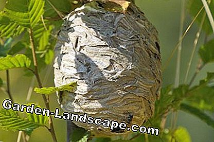 Wasp nest in de boom