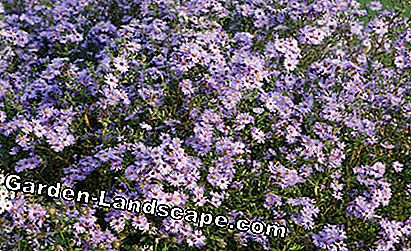 Smooth-leaved aster (Aster novi-belgii)