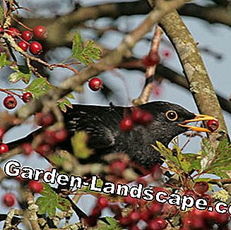 Blackbird feeds on the red berries of the hawthorn