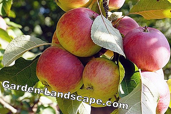 Apple malus