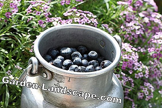 Blueberries - Blueberries - Vaccinium myrtillu