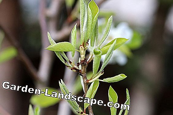 Pear - Pyrus - young shoots