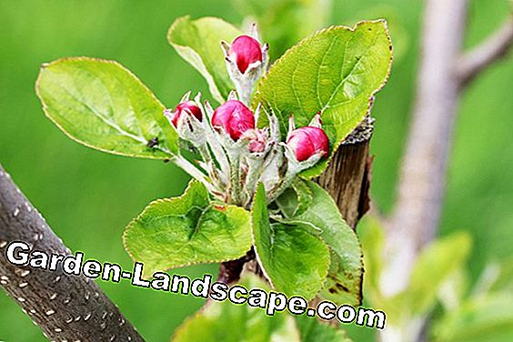 Apple blossom - Mmalus