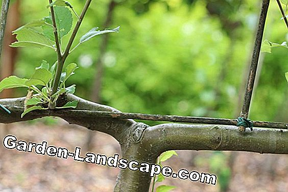 Apple Malus Trellis