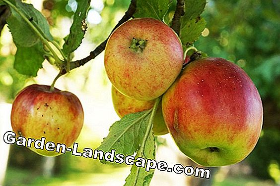 Fruit tree cut at the apple tree - Instructions - When to cut?: shoots