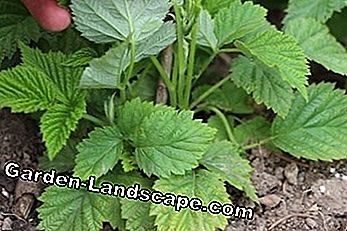 young raspberry plants