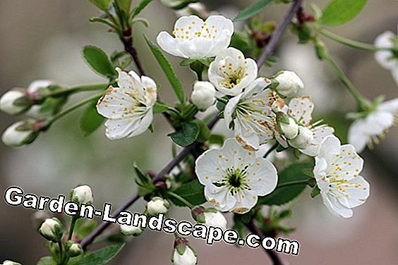 Apple blossom - Malus