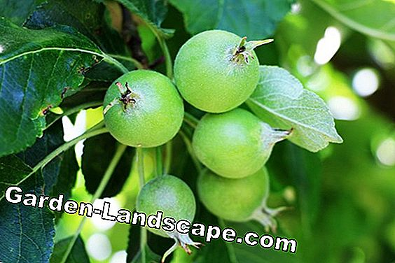 Self-pollinating apple trees - list of popular apple varieties