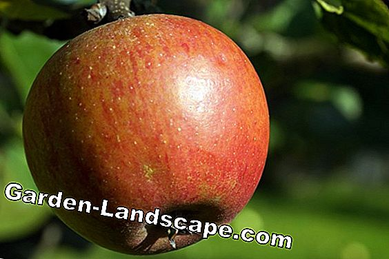 Apple spider moth - methoden om te bestrijden: apple