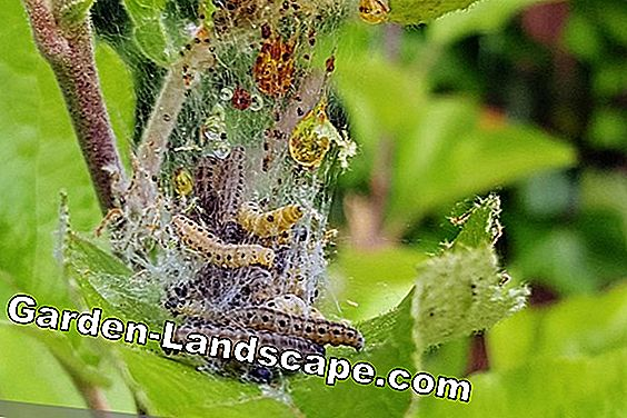 Worms in apples - what to do against codling apples on apple tree?