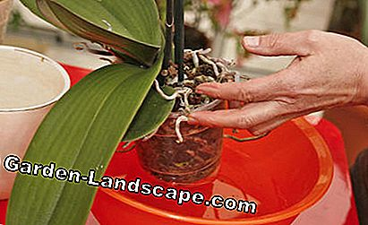 Dip the root ball of the orchid