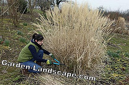Cutting miscanthus