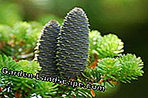 Conifers are very easy to care for