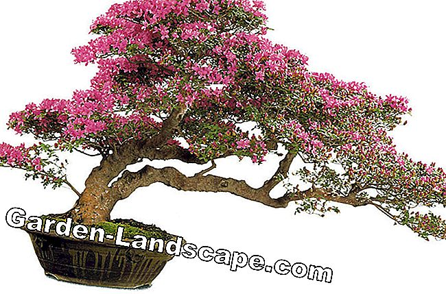 Bonsai: árbol