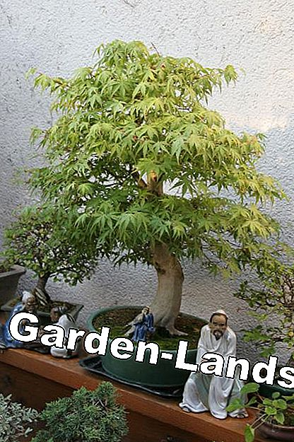 Bonsai fan esdoorn