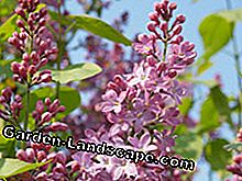 Do you plant summer lilac?