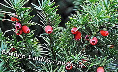 Taxus, Taxus baccata