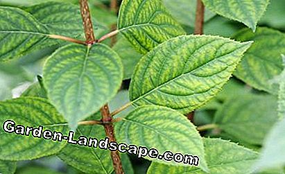 Magnesium deficiency hydrangea leaf