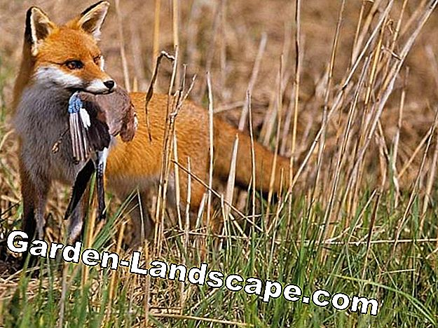 Fox with partridge