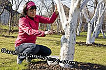 The lime coating protects the trees optimally in winter