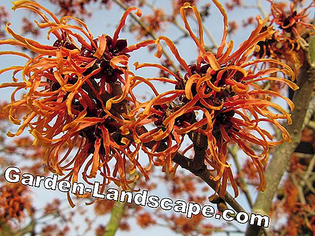 Ornamental garden - witch hazel