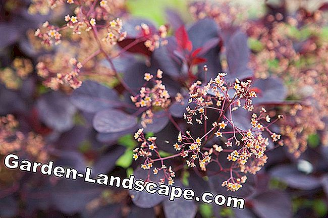 Ornamental garden - wig shrub