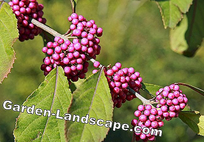 Ornamental garden - love pearl bush