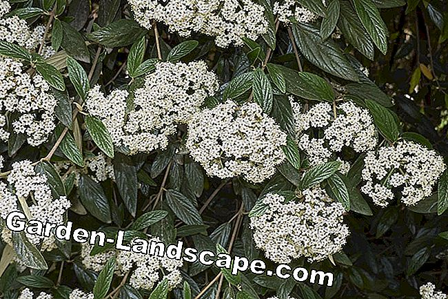 Ornamental garden snowball