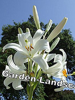 Madonna lilies can grow up to 150 centimeters