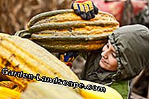 Pumpkins are harvested in late summer
