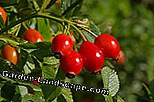 Rosehips have a high vitamin C content