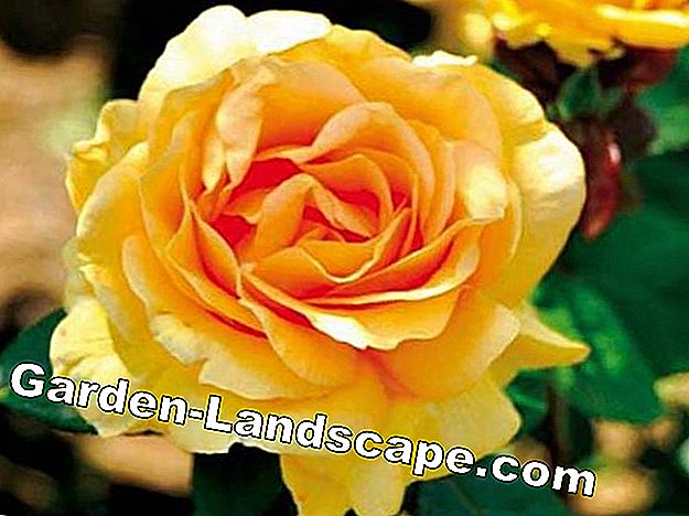 Rose Golden Lady