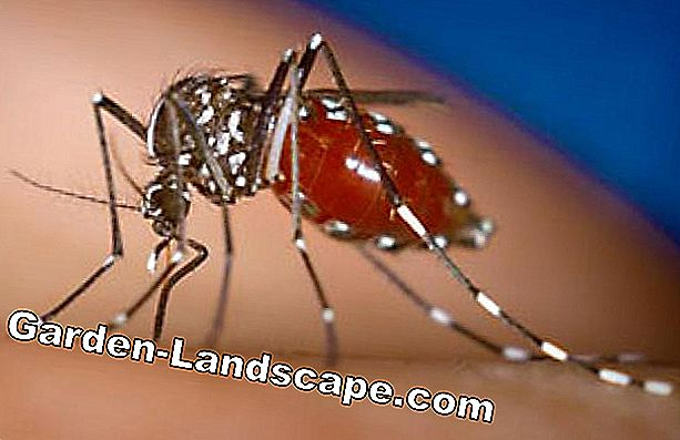 Tiger mosquitoes