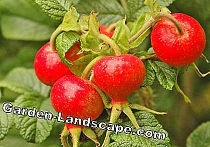 Apple Rose (Rosa rugosa)