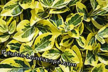 Eye catcher in the garden: the wing spindle shrub