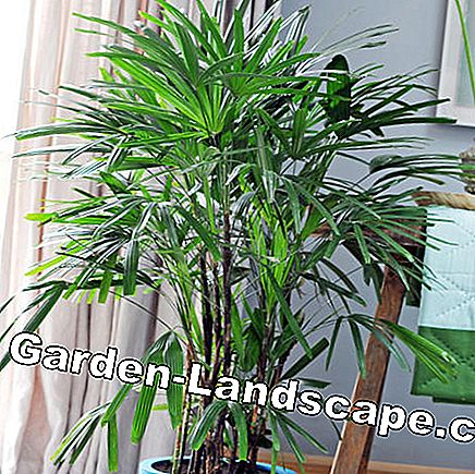 Plaats palm (Rhapis excelsa)