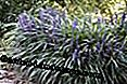 Lily raisin, Liriope muscari