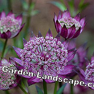 Large Star Thorn (Astrantia major) 'Moulin Rouge'
