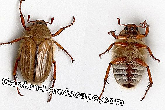 Juniper Beetle - Ribbed Brown Beetle - Aphimallon solstitiale